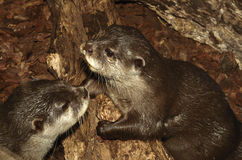 Two Otters. Close-up on log Royalty Free Stock Image