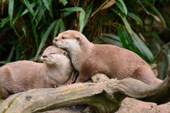 Two otters cuddling. Portrait of two oriental short clawed otters cuddling Royalty Free Stock Images