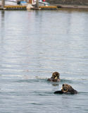 Two Otters eating Crab Royalty Free Stock Photo
