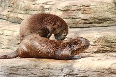 Two Otters playing Stock Photography