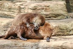 Two Otters playing Stock Images