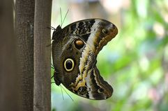 Two owl butterflies Royalty Free Stock Photo
