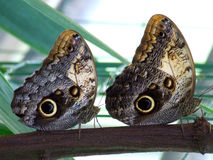 Two Owl Eyed butterflies on a row. Two species of Owl Eye butterfly on a branch Royalty Free Stock Photography
