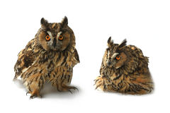 Two owl Stock Image