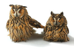 Two owl Stock Images
