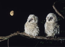 Two owlets perching on tree branch Royalty Free Stock Images