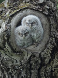Two owlets in tree knot Royalty Free Stock Photography