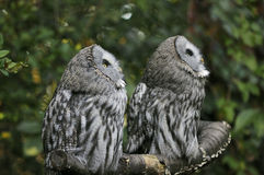 Two owls. Couple of two owls in the forest Stock Images