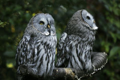 Two owls. Couple of two owls in the forest Royalty Free Stock Photos