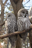 Two owls. Two great grey owls (Strix nebulosa) on the branch Royalty Free Stock Images