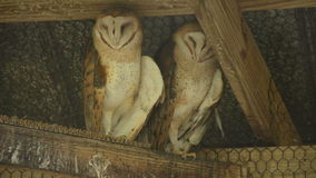 Two owls in a barn. Two owls under the roof of an old barn stock video footage