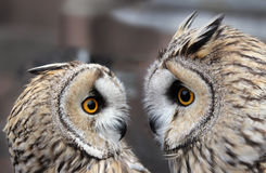 Two Owls. Two Boreal Owls. In Europe, they are typically known as Tengmalm's owls after Swedish naturalist Peter Gustaf Tengmalm or, more seldomly, Richardson's Stock Images