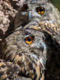 Two owls bubo bubo with yellow eyes Royalty Free Stock Photography