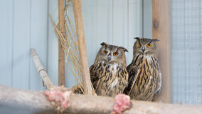 Two owls. Two eagle owls staring at camera Royalty Free Stock Photography