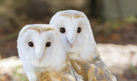 Two owls friends. Two cute owls friends in the forest Stock Photography