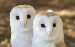 Two owls friends Royalty Free Stock Photo
