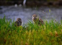 Two burrowing owls (Athene cunicularia) gazing through tall grass. Stock Images