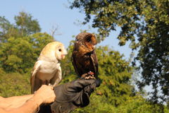 Two owls. Of the same species in different colors Royalty Free Stock Photography