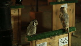 Two owls sitting on a branch and looking around in  a medieval market. Two owls sitting on a branch and looking around in  a medieval market stock video