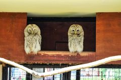 Two owls are sitting in the house royalty free stock photography