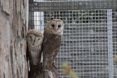 Two owls sitting next to each other lookinf into camera in aviary. Two owls are sitting next to each other looking into camera in aviary Stock Photography
