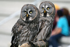 Two owls. Stand on a perch. Their feathers are grey and brown, their eyes and beaks are yellow Royalty Free Stock Image