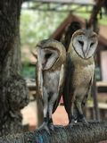 Two owls on a stick are looking at the camera. Stock Photography