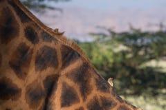 Ox pecker on Giraffe Neck. Two Ox pecker on Giraffe Neck stock images