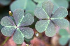 Two oxalis corniculata leaves Stock Photos