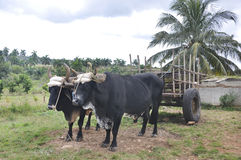 Two oxen harnessed to a cart Stock Images