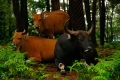 Two oxen laying down on the ground while one is standing. Two oxen laying down on the ground while one is standing underneath the trees in the shadow Stock Photos