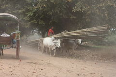 Two oxen pulling wooden cart  on dusty road , Myanmar Stock Image