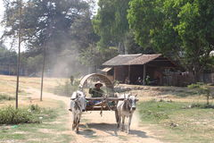 Two oxen pulling wooden cart Royalty Free Stock Image