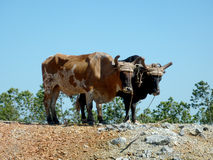 Two oxes. Team of oxes in Valle de Vinales, Cuba Royalty Free Stock Photos