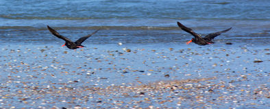 Two Oyster Catcher fly Royalty Free Stock Image
