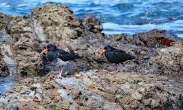 Two oyster catchers search for food on the rocks by Lyall Bay in Wellington, New Zealand royalty free stock photography