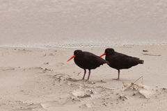 Two Oystercatchers Haematopus unicolor on beach Stock Image