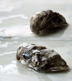 Two oysters Stock Photography