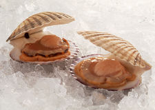 Two oysters on ice Royalty Free Stock Image