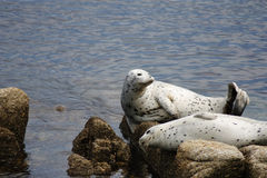 Two Pacific Harbor Seals Basking On Rocks Royalty Free Stock Photo