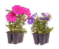 Two packs of pink- and blue-flowered petunia seedlings ready for. Two packs containing two seedlings of pink- and blue-flowering petunia plants ready for Stock Photo