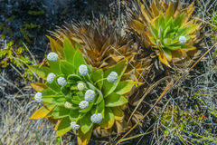 Two paepalanthus plants with flowers in the wild Stock Photography