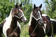 Two paint horses with halters
