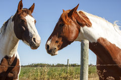 Two paint horses. Nose to nose standing by a fence Stock Photos