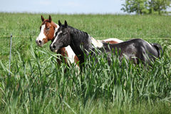 Two paint horses on pasturage behind high grass Royalty Free Stock Images