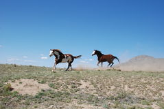Two Paint Horses Running on Ridge Kicking Up Dust Royalty Free Stock Photography