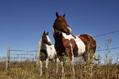 Two paint horses Royalty Free Stock Photos
