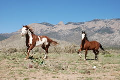 Two Paint Horses Trotting at Sandia Mountains Stock Photos