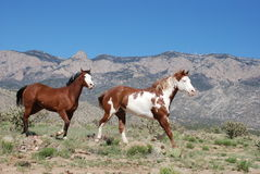 Two Paint Horses Trotting Towards Right in Front of Sandia Mountain Royalty Free Stock Photography