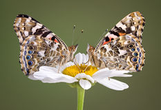 Two Painted Ladies On Daisy Royalty Free Stock Photos